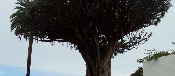 Fotografía de Tenerife Island: Drago Milenario de Icod de los Vinos